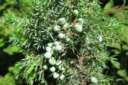 Фото 31 Хвойный красавец в саду — можжевельник (60 фото): посадка и уход за растением
