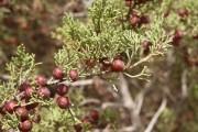 Фото 33 Хвойный красавец в саду — можжевельник (60 фото): посадка и уход за растением