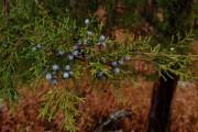 Фото 35 Хвойный красавец в саду — можжевельник (60 фото): посадка и уход за растением