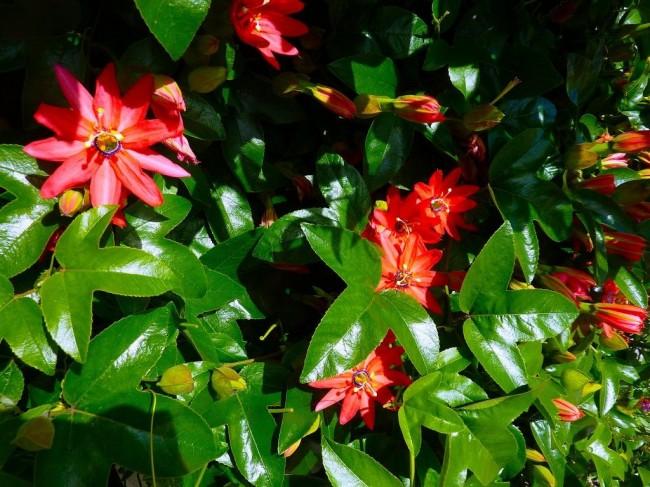 Неотразимая королева сада, купающаяся в изумрудной зелени