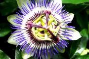 Фото 13 Уникальная лиана пассифлора (100 фото): выращивание, уход, размножение