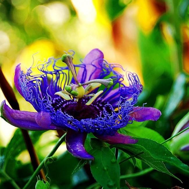 Ослепительная пурпурная пассифлора