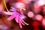 Фото 14 Уникальная лиана пассифлора (100 фото): выращивание, уход, размножение