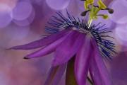 Фото 16 Уникальная лиана пассифлора (100 фото): выращивание, уход, размножение