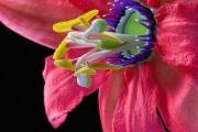 Фото 12 Уникальная лиана пассифлора (100 фото): выращивание, уход, размножение