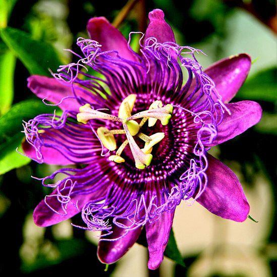 Прекрасная фиолетовая пассифлора