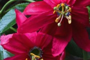 Фото 19 Уникальная лиана пассифлора (70 фото): выращивание, уход, размножение