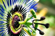 Фото 11 Уникальная лиана пассифлора (100 фото): выращивание, уход, размножение
