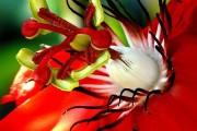 Фото 8 Уникальная лиана пассифлора (100 фото): выращивание, уход, размножение