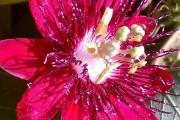 Фото 28 Уникальная лиана пассифлора (70 фото): выращивание, уход, размножение