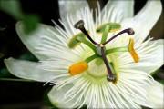 Фото 29 Уникальная лиана пассифлора (70 фото): выращивание, уход, размножение