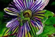 Фото 31 Уникальная лиана пассифлора (100 фото): выращивание, уход, размножение