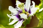 Фото 2 Уникальная лиана пассифлора (100 фото): выращивание, уход, размножение