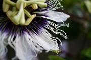 Фото 32 Уникальная лиана пассифлора (70 фото): выращивание, уход, размножение