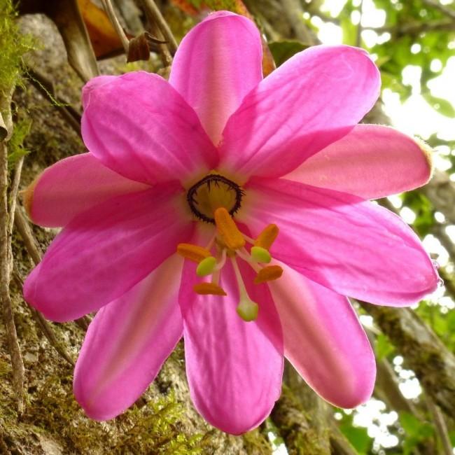 Очень нежная и изысканная розовая пассифлора