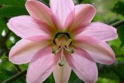 Фото 33 Уникальная лиана пассифлора (100 фото): выращивание, уход, размножение