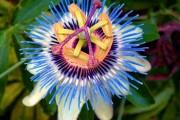 Фото 34 Уникальная лиана пассифлора (100 фото): выращивание, уход, размножение