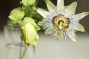 Фото 36 Уникальная лиана пассифлора (100 фото): выращивание, уход, размножение