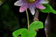Фото 37 Уникальная лиана пассифлора (100 фото): выращивание, уход, размножение