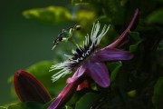Фото 38 Уникальная лиана пассифлора (100 фото): выращивание, уход, размножение
