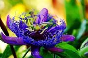 Фото 4 Уникальная лиана пассифлора (100 фото): выращивание, уход, размножение