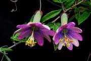 Фото 41 Уникальная лиана пассифлора (100 фото): выращивание, уход, размножение