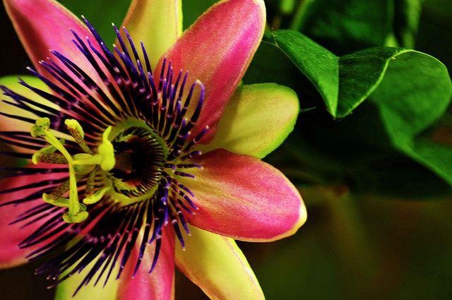 Цветок этого вида выглядит очень вкусно, напоминая о сочных плодах