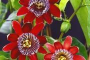 Фото 43 Уникальная лиана пассифлора (100 фото): выращивание, уход, размножение