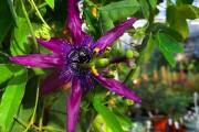 Фото 30 Уникальная лиана пассифлора (100 фото): выращивание, уход, размножение