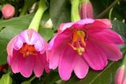 Фото 52 Уникальная лиана пассифлора (70 фото): выращивание, уход, размножение