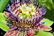 Фото 9 Уникальная лиана пассифлора (100 фото): выращивание, уход, размножение