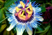 Фото 6 Уникальная лиана пассифлора (100 фото): выращивание, уход, размножение