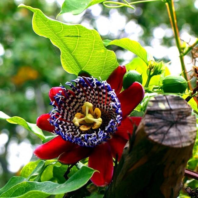 Роскошная пассифлора - венец творения матушки Природы