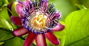 Уникальная лиана пассифлора (100 фото): выращивание, уход, размножение фото