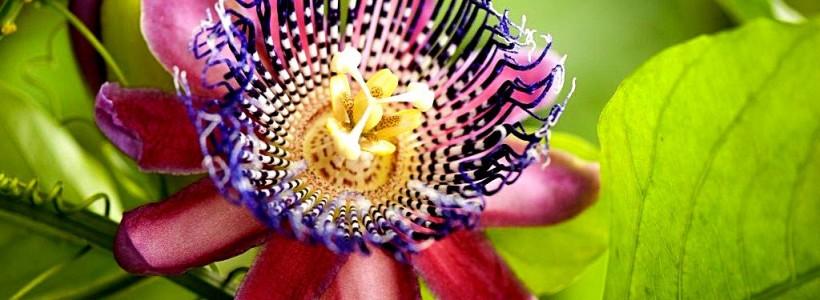 Уникальная лиана пассифлора (100 фото): выращивание, уход, размножение