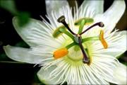 Фото 56 Уникальная лиана пассифлора (70 фото): выращивание, уход, размножение