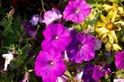 Фото 7 Петуния: посадка и уход (70 фото) — раскрываем тайны красивого цветка