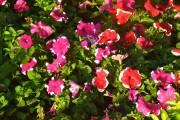 Фото 8 Петуния: посадка и уход (70 фото) — раскрываем тайны красивого цветка