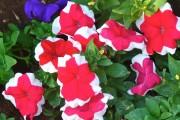 Фото 12 Петуния: посадка и уход (70 фото) — раскрываем тайны красивого цветка