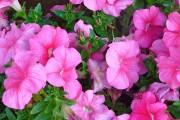 Фото 4 Петуния: посадка и уход (70 фото) — раскрываем тайны красивого цветка