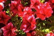 Фото 2 Петуния: посадка и уход (70 фото) — раскрываем тайны красивого цветка