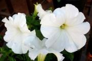 Фото 14 Петуния: посадка и уход (70 фото) — раскрываем тайны красивого цветка