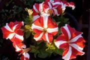 Фото 15 Петуния: посадка и уход (70 фото) — раскрываем тайны красивого цветка