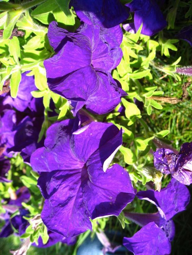 Бархатные цветки петунии насыщенного пурпурного цвета