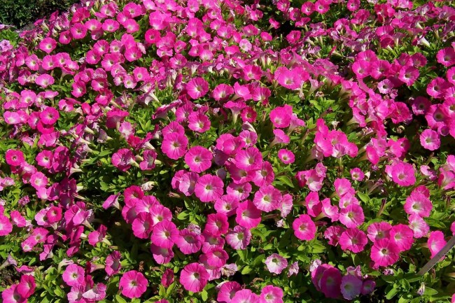 Яркая и красивая многоцветковая петуния