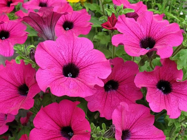 Невероятно красочный, красивый цветок очень любим садоводами и просто ценителями прекрасного