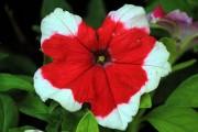 Фото 17 Петуния: посадка и уход (70 фото) — раскрываем тайны красивого цветка