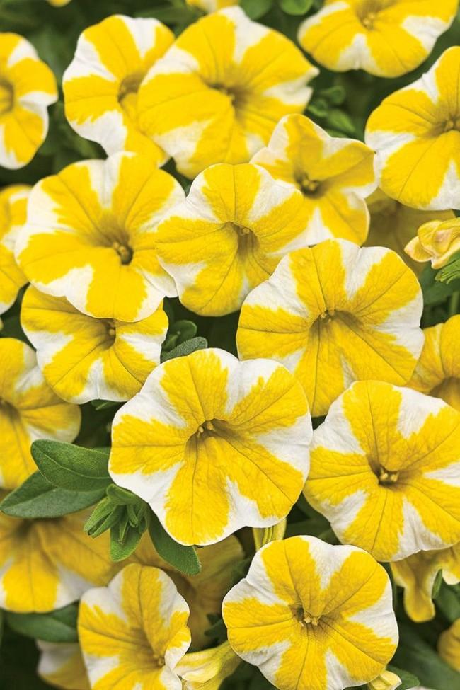 Необыкновенная петунии бело-желтого окраса