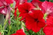 Фото 9 Петуния: посадка и уход (70 фото) — раскрываем тайны красивого цветка