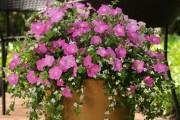 Фото 21 Петуния: посадка и уход (70 фото) — раскрываем тайны красивого цветка